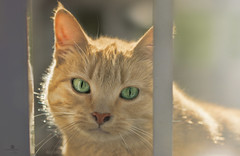 sweet opal (rockinmonique) Tags: fence green gold light eyes sweet cat kitty moniquew canon tamron copyright2016moniquewphotography