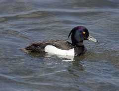 Tufted Duck-1-flkr (timcoleman1) Tags: tufted duck