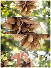 Acer Tree Seeds (Jovan Svorcan) Tags: acer pseudoplatanus seed tree plant collage