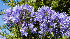 St. Ives, Cornwall 4 August 2016 (BaggieWeave) Tags: stives cornwall seaside beach agapanthus