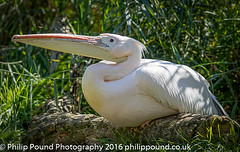 Pelican and Wasp (Philip Pound Photography) Tags: pelican bird beak insect wasp sting zoo zsl