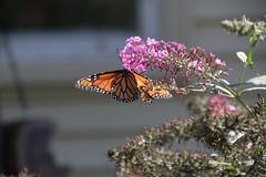 Monarch Butterfly (Saline, Michigan) - September 18, 2016 (cseeman) Tags: monarchbutterfly butterfly butterflybush saline michigan gardens bush purple orange monarch garden monarch09182016