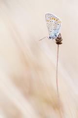 azur d'une fin d't (YannW) Tags: nature sauvage papillon azur bokeh canon 6d 100mm