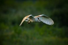 Looking Rough (jammo s) Tags: barnowl owl tytoalba wildbarnowl birdinflight birdofprey bird wildowl daylight flying nature wildlife canoneos80d canonef400mmf56lusm