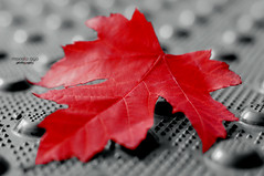 maple leaf (mariola aga) Tags: autumn leaf maple red black white blackandwhite selectivecolor closeup art thegalaxy ruby3 infinitexposure