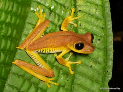 Troschel's tree frog, Hypsiboas calcaratus? (Ecuador Megadiverso) Tags: andreaskay ecuador amphibian anura frog hylidae hypsiboascalcaratus