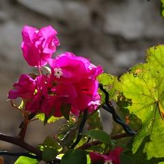 Pink flowers (Hlne_D) Tags: hlned france provencealpesctedazur paca provence bouchesdurhne marseille plant plante flower fleur bougainvillier bougainvillea aviary