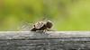 Libelle (Oerliuschi) Tags: libelle dragonfly insekt fluginsekt natur makro schärfentiefe heliconfocus stacking holz sonnenschein