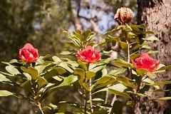 3 Waratah flower at Muogamarra (Val in Sydney) Tags: waratah flower fleur muogamarra australie australia nsw national park