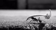 () (Mariano Markovic) Tags: macromondays handlewithcare ant food dof bw monochrome grey black white nature light macro contrast