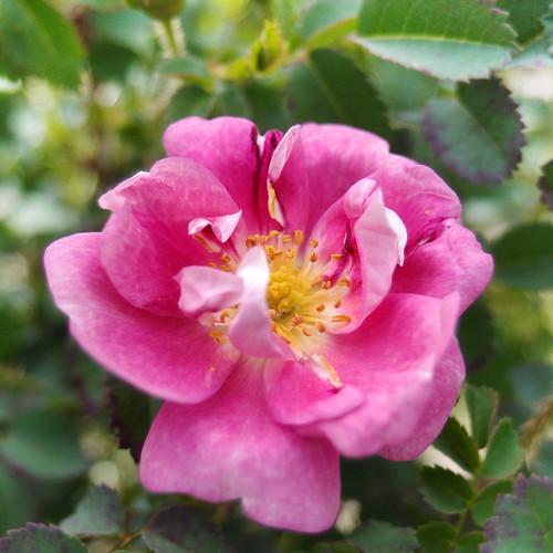 Rose William 3 バラ ウィリアム...