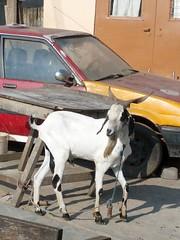 goat (eyedol) Tags: goat ghana flickrandroidapp:filter=none