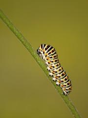 L'ascension **--*+°° (Titole) Tags: diagonal caterpillar swallowtail chenille diagonale machaon 15challengeswinner friendlychallenges ultrahero titole favescontestfavored nicolefaton