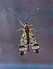 Scorpion Fly (Mr Grimesdale) Tags: insects scorpionfly flyinginsects stevewallace britishinsects mrgrimesdale elitebugs