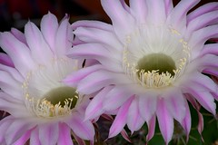 IMGP1870 (FiLLo_55) Tags: pink flowers summer cactus flower macro pentax rosa kr fiori hennysgardens fillo55