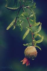_flor de rom (.merchan) Tags: pictures red plant flower verde green planta nature water rain gua photo drops foto natureza flor chuva vermelho gotas sheet folha canoneos rom clicksp florderom canonefs55250mmf456is canon55250mm canoneosdigitalrebelxs abnermerchan