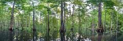 20120223-cape_mansuar-_MG_9839-3 Panorama (1).jpg (ralf.darius) Tags: wild panorama green nature water forest indonesia landscape island rainforest wasser natural wildlife natur 360 virgin mangrove swamp passage papua untouched landschaft wald indonesien gam intact oldgrowth pristine westpapua regenwald panoramicview intakt natrlich mangroveforest unberhrt rajaampat primrwald irianjaya primaryforest mangrovenwald blumenundpflanzen mangoven pulaugam iryanjaja