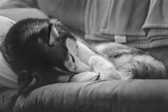 Where Sleeping Dogs Lie... (Aaron W | http://law-photography.com) Tags: sleeping blackandwhite bw dog white black animal canon 50mm husky dreaming siberianhusky 18 kona huskie siberianhuskie animalportrait dogportrait niftyfifty 40d lawphotography dogemotion