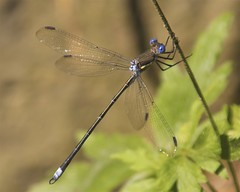 Male Great Spreadwing Damselfly (milesizz) Tags: male wisconsin milwaukee damselfly wi spreadwing odonata lestidae archilestesgrandis greatspreadwing