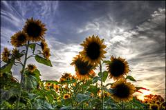 Sunflowers (helikesto-rec) Tags: flowers sky sun sunflower hdr yellowsprings