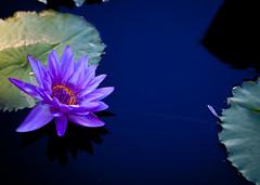 Longwood Gardens (spaceyjessie) Tags: light flower art water gardens canon waterlily lily purple pad pa 5d canon5d lilypad longwoodgardens longwood brucemunro