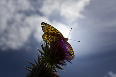 Dark Green Fritillary (Chris McLoughlin) Tags: macro butterfly darkgreenfritillary sal100m28 chrismcloughlin sonya580