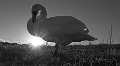 Swan in the sun. (CWhatPhotos) Tags: pictures above camera blue light shadow sky cloud sun white black monochrome sunshine clouds canon dark that lens photography eos swan ray skies foto shadows bright image artistic zoom cloudy pics dream picture pic images have photographs photograph fotos dreams 7d l series dreamy rays scape which skys 1740mm contain hetton lyons cwhatphotos