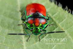 Shield-Backed Bug (Scutelleridae) - DSC_1667 (nickybay) Tags: macro bug singapore scutelleridae riflerangeroad shieldbacked chrysocoris