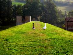 oca_Arignano2012_IMG_0183_1 (stegdino) Tags: verde green bird perspective goose behind vanishing oca uccello bigmomma challengeyouwinner fotocompetitionbronze msh0814 yourockwinner agcgwinner storybookwinner pregamewinner showbizredcarpeteventwinner stegomisc msh081413