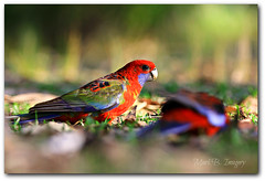C H I R P Y (Mark B. Imagery ) Tags: travel bird tourism nature forest photography bush flickr wildlife lorikeet parrot explore wilderness greenpatch jervisbay boodereenationalpark canoneos60d markbimagery canon70200mmusmii