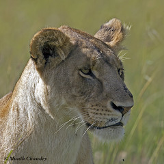 Queen of Olare Orok (MAC's Wild Pixels) Tags: female kenya lioness masaimara mfcc specanimal goldwildlife fabuleuse olareorok naturesgreenpeace allnaturesparadise allofnatureswildlifelevel1 allofnatureswildlifelevel2 allofnatureswildlifelevel3 allofnatureswildlifelevel4 allofnatureswildlifelevel5 allofnatureswildlifelevel8 allofnatureswildlifelevel6 allofnatureswildlifelevel7 macswildpixels