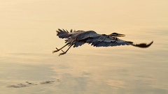 Heron at Sunrise (tylermielnichuk) Tags: ocean canada bird fall heron nature water canon flying wings bc nanaimo 7d canon80200mmf28l magicdrainpipe