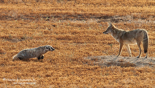relationship between coyote and badger