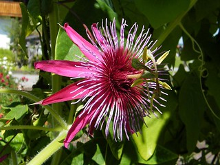 Passiflora 'Crimson Tears'
