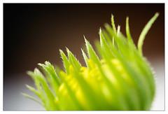 Yellow & green 3 (leo.roos) Tags: flowers green yellow minolta buds nex enlargerlens darosa leoroos nex5n erokkor5045