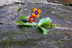 P1340889b (2) (Johanna Raspberry) Tags: blume stein boden löwenzahn rgen