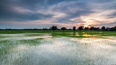 Paddy Field Sunset (MOG'S) Tags: sunset reflection nature field canon landscape golden long exposure sundown paddy magic filter lee hour malaysia moment polarizer circular dong cpl paddyfield mogs 105mm sekinchan sekincan heliopan malaysialandscape 5dmark3 landscapemalaysia dongtj sekinchansunset paddyfieldsunset malaysialandscapespot