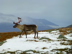 YES! I saw a reindeer ! (Frans.Sellies) Tags: snow animal norway geotagged reindeer norge norwegen antlers ren caribou sn rentier noorwegen noreg karibu rendier kariboe gewei renntier specanimal p1050183 blinkagain geo:lat=61248823807702784 geo:lon=8887020115624978