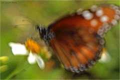 Soldier Butterfly (Kevin B Photo) Tags: orange abstract nature horizontal florida native wildflowers kevinbarry bigcypressnationalpreserve soldierbutterfly