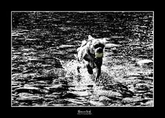 free (Shannon Leigh Photography) Tags: bw dog water animal canon ball river blackwhite running jackson splash canon7d september2012 shannonleighphotography