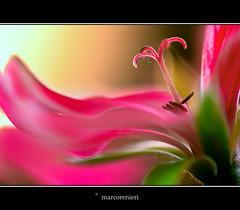 Geranio pelargonium peltatum. (marcorenieri) Tags: