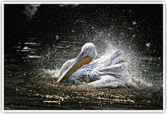 Pelican [Explored] (Vin PSK) Tags: bird pelican waterdrops