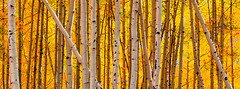 Ablaze (Bryce Bradford) Tags: autumn panorama fall colorado olympus trunks f18 aspen omd quaking 75mm marbe em5 mzuiko
