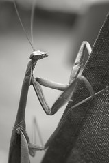 Praying Mantis On My Steps 2 (frntprchprss) Tags: blackandwhite prayingmantis massachesetts jamesgehrt