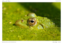 Grenouille Verte (BerColly) Tags: france green google flickr vert frog ponds auvergne grenouille puydedome tangs bercolly orleat