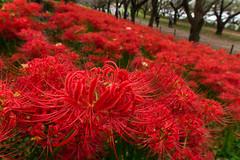 Red spider lily (Naoki Kikuchi) Tags: flower