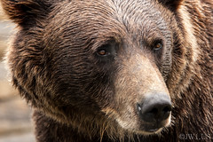 Image ID# Whalen-090722-1716 | Denali Brown Bear (joshwhalen) Tags: bear travel portrait usa brown animals horizontal closeup alaska america photography us photo unitedstates wildlife unitedstatesofamerica fineart conservation style northamerica environment grizzly fineartphotography brownbear photogaph grizzlybear stockphotography fineartphoto soilconservation fineartphotograph conservationphotography joshwhalenphotography whalenphotography joshwhalencom