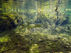 Chain Pickerel: McCormick Spring Run, Econfina Creek Florida (Phil's 1stPix) Tags: camera nature water animal digital creek river geotagged vent bay washington spring underwater snorkel natural florida outdoor wildlife dive sealife fresh canoe chain trail springs recreation aquatic geotag emerald panhandle clearwater freshwater underwatercamera mccormick underwaterphotography floridawildlife econfina pickerel gainer springhead wildflorida econfinacreek realflorida floridanature canoetrail naturalflorida sealifecamera floridaunderwater nwfwmd geotaggedflorida lightroom4 econfinacreekcanoetrail dc1400 sealifedc1400 northwestfloridawatermanagementdistrict photoscape36 esoxreticulatus creativecommonsnature taxonomy:binomial=esoxniger