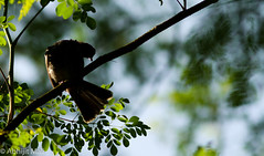 Fantail - It's time to rise and catch the insects. (Abhijit Mali) Tags: morning sun bird birds photography grey photo photos good sunbath maharashtra mali abhijit konkan fantail kudal abhijitmali