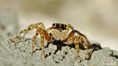 Calentandose al sol (iohandesign) Tags: patagonia moon macro spider eyes fuji spiders fujifilm araña jumpingspider s200 cipolletti izaguirre salticidae raynox saltarina exr aracnidos saltadora artropodos raynoxdrc250 arañasaltadora arañasaltarina fujis200exr iohandesign sebastianizaguirre